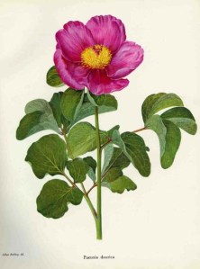 A study of the genus paeonia